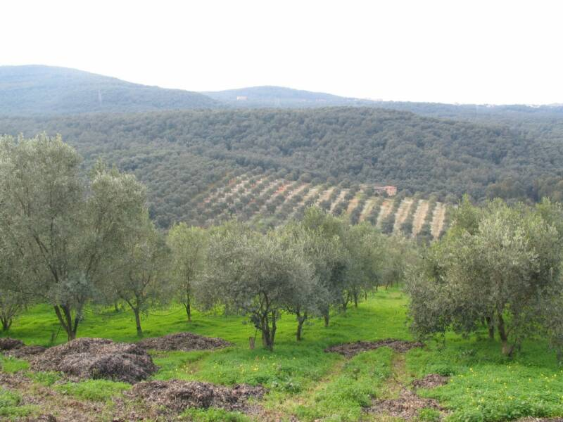Pellegrino Olive Orchards int foothills of the Aspromonte and the plains of Gioia