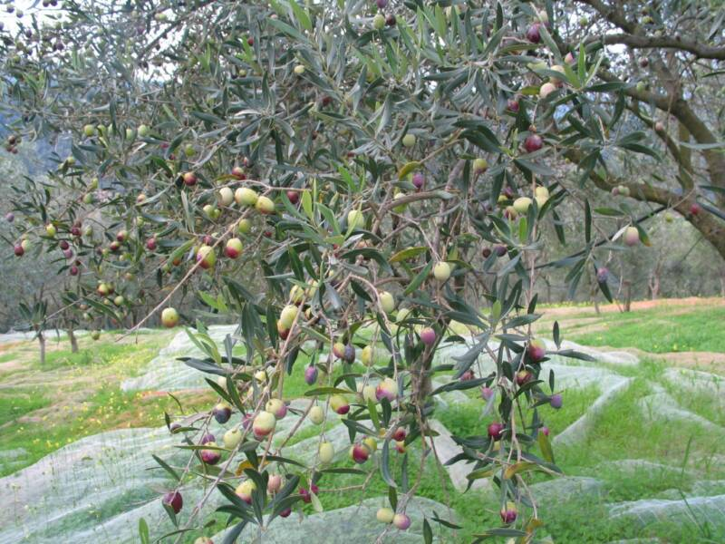 the Lecchino Olive ripening from green to purple